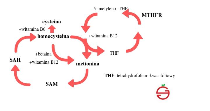 homocysteina- najprościej